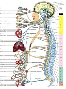 sistema-nervioso1